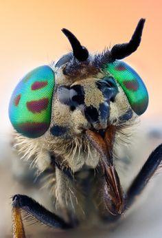 Chrysops sp.--Deer fly macro   Flickr - Photo Sharing!