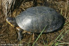 Blanding's turtle (Emydoidea blandingii). Distribution: Canada, USA; requires both wetland and upland habitat.  Population: Endangered (IUCN 2011); decreasing population trend; populations  often small and localized; estimated 30–50% of suitable habitat  and populations lost in recent decades; many remaining populations have  declined.  Threats: International and domestic pet trade; habitat degradation, fragmentation,  destruction; predation; road mortality; bycatch…