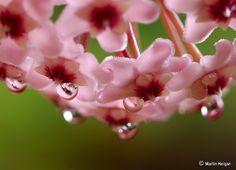 Hoya carnosa flower macro by © Martin_Heigan, via Flickr.com