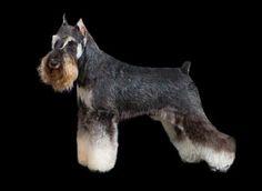 Schnauzer Grooming, Mini Schnauzer, Dog Pin, Schnauzers, Pets, Animals, Bath, Dog Haircuts, Miniature Schnauzer