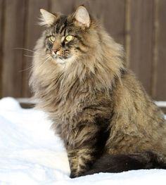 From adorable kitten to a majestic Norwegian Forest Cat