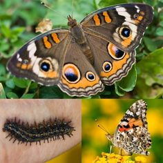How to identify 10 common butterfly species: Common buckeye butterfly