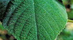 The Gympie Gympie is an Australian plant with spindly stems and heart-shaped light green leaves. Brushing your hand against it can make you throw up from the pain. Using it as toilet paper has made people shoot themselves. This plant will ruin you.