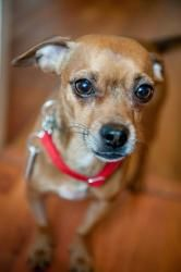 Tripp is an adoptable Chihuahua Dog in Asheville, NC. 'Hi, my name is Tripp, and I am having soo much fun here in my foster home! I'm about a year and a half old, and I'm a little tiny chihuahua. I lo...