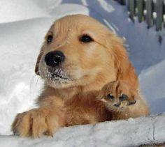 Charlie the Golden Retriever