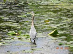 This was taken at Lake Katherine in Palos.  I'm not sure, but I think it might be a blue heron??