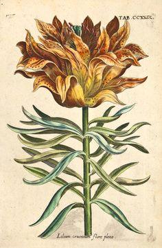 Michael Valentini - Viridarium Reformatum, seu Regnum Vegetabile: Krauter Buch (Newly Revised Garden of the Plant Kingdom: Herb Book), 1719 - Tab. CCXXIX: Lilium cruentum flore pleno.