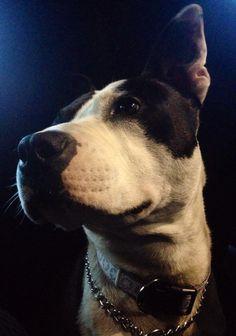 #myphoto #mydog #amstaff #pitbull #terrier #lovephotography