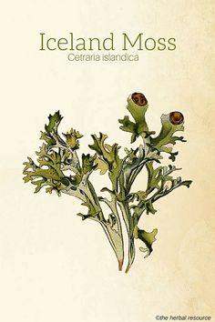 Iceland Moss (Cetraria islandica)