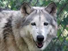 OLOWAN, Upper mid content wolfdog, born 2003, joined Saint Francis Wolf Sanctuary in February 2012, is one of the elder wolf dogs at the sanctuary, like her companion, Luke.