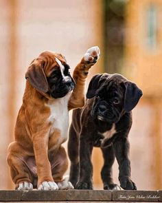 boxer love <3 High Paw