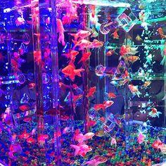 【shokiti712】さんのInstagramをピンしています。 《結構前に行ったんだけど、綺麗やったなー♡ この水槽が一番好きだった( ✌︎'ω')✌︎✌︎('ω'✌︎ )  #21世紀美術館 #アクアリウム #家族で行ったよ #すーんげえ人だった #みんな写真撮るの必死 #ちゃんと金魚見てあげて #金魚ちゃんが可哀想 #ホントに綺麗やったな #金魚 #レインボー》