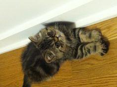 Pants. Exotic shorthair kitten. @catnamedpants