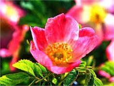 Aceite de Rosa Mosqueta, sus usos maravillosos