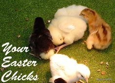 Your Easter-Basket Chicks a Year Later (aka Why to Not Buy on a Whim)