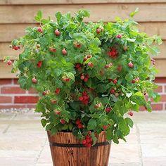 Raspberry Plant Ruby Beauty 2 L Pot Flower Fruit Vegetables Grown Home Garden