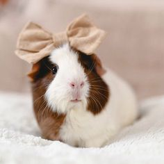 #crumpetthepig - guinea pig in a big bow