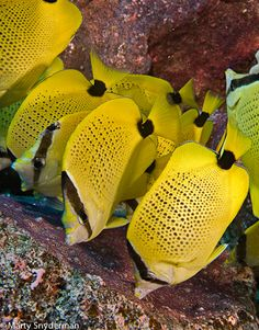 A school of milletseed butterflyfish feeding on the eggs in the nest of a sergeant major. by Marty Snyderman