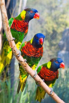 Exotic Birds - Rainbow Loikeets or Coconut Lorikeet - from World Parrot Trust Tropical Birds, Exotic Birds, Exotic Pets, Exotic Animals, Cute Birds, Pretty Birds, Beautiful Birds, Eagle Animals, Animals And Pets