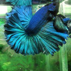 AquaBid.com - Item # fwbettashm1394605347 - Green Hm Male - Ends: Wed Mar 12 2014 - 01:22:27 AM CDT