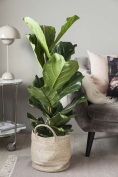 Fiolinfiken er en av våre mest populære retroplanter. House Plants, Plant Leaves, Planters, Home Decor, Homemade Home Decor, Planter Boxes, Plant, Houseplants, Flower Pots