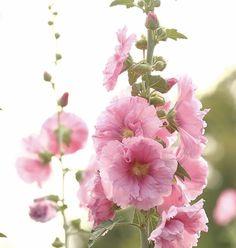 Green Beach, Beach Color, Summer Flowers, Summer Colors, God's Heart, Rose Colored Glasses, Hollyhock, Flower Farm, Summer Garden