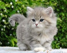 Blue Silver Cream Tabby Blotched