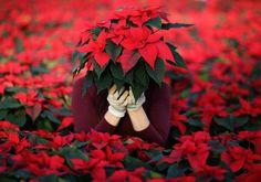 Evangelina Demkova e Stelle di Natale