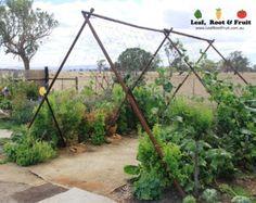 Giant Edible Trellis Project: Week Nineteen... Tromboncinos! - Leaf, Root & Fruit Gardening Services Hawthorn