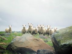 Finland, Sheep, Nature, Animals, Naturaleza, Animales, Animaux, Animal, Animais