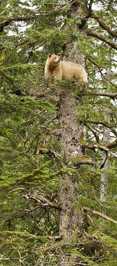 Treed Spirit Bear / Kermode