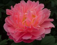 """~Pink Hawaiian Coral - Early Midseason Hybrid, semi-double, light salmon-toned pink, fast  grower, many thick strong stems, it belongs on the """"exclusive"""" list of well paid cut flowers, American Peony Society Gold Medal 2000, Award of Landscape Merit 2009, (R.G. Klehm 1981). www.peonyshop.com"""
