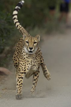 Focus on Flickr.A sprinting cheetah can cover 20 to 22 feet in a single stride.