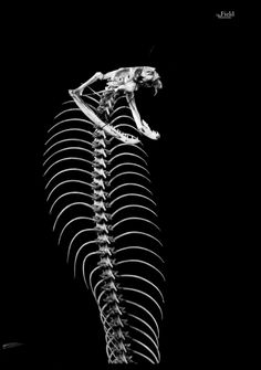 Articulated skeleton of a King Cobra! King cobras, like all snakes, have flexible jaws. The jaw bones are connected by pliable ligaments, enabling the lower jaw bones to move independently. Animal Skeletons, Animal Skulls, Skull Reference, Reference Images, King Cobra Snake, All About Snakes, Les Reptiles, Colorful Skulls, Dragons