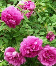 Rosa Rugosa-ryhmä 'Pohjolan Tytär' - tarhakurtturuusu 'Pohjolan Kuningatar' Heritage Rose, Lavender Fields, Love Rose, Outdoor Living, Roses, Dreams, Make It Yourself, Floral, Flowers