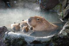 Ah mes préférés!!!! Les capibaras!
