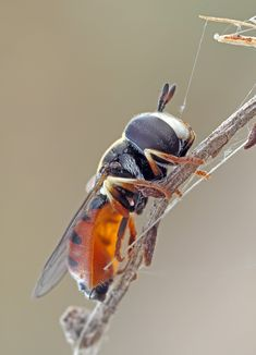 Unknown hoverfly sp by buleria on DeviantArt