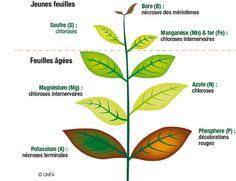 La croissance est réduite quand la plante ne peut pas absorber suffisamment d'éléments nutritifs. On dit que la plante est en carence.