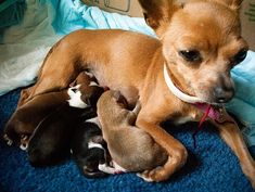 Chihuahua and her puppies! Can you imagine how small they must be! Really Cute Puppies, I Love Dogs, Pet Dogs, Dogs And Puppies, Doggies, Trending Topic, Pregnant Dog, Cute Chihuahua, Cat Behavior