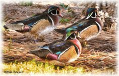 Wood Ducks Faux Painting by InletImages on Etsy
