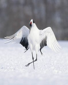 japanese crane by mlp55, via Flickr