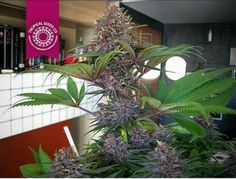 Buy Cannabis Seeds from Seedsman from the most trusted brand on the market benefit from discreet worldwide delivery, free cannabis seeds and excellent customer service. We offer marijuana seeds from over 60 cannabis breeders. Plant Icon, Deeper Shade Of Blue, Marijuana Plants, Cannabis Plant, Seed Shop, Purple Plants, Buy Weed
