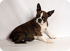 St. Louis, MO - Boston Terrier Mix. Meet Dolly Boston, a dog for adoption. http://www.adoptapet.com/pet/16555730-st-louis-missouri-boston-terrier-mix