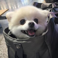 Like Animals, Cute Baby Animals, Animals And Pets, Teacup Puppies, Cute Puppies, Dogs And Puppies, Pom Dog, Pomes, Cute Cats And Dogs