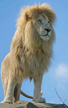 Stately African Male Lion.