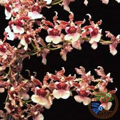 This oncidium will brighten any room, and will have loads of pink flowers to last for months, mature plants are commonly known to be in bloom year-round! Description from larrysorchids.com. I searched for this on bing.com/images