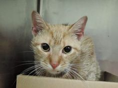 SAMBA – A1107622 - 1yr MALE, ORG TABBY, DSH, UNDERWEIGHT - Found in an elevator shaft after several days. He is currently on a DOH hold due to a biting incident.