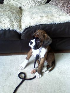 """I'm leashed and ready to go, Mama."" (boxer)"