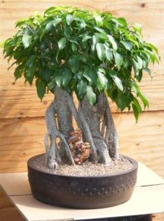The Ficus Benjamina is an indoor tropical bonsai tree that is easy to care for. Has evergreen leaves with a pointed tip that can be reduced in size by trimming. Trimming will also keep the tree tight and compact as will direct sun. Field grown specimen, trained in the multi-trunk Banyan Style.