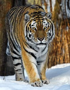 Siberian Winter - Amur Tiger....largest of the tigers!!!!